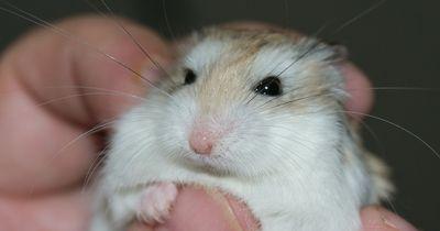 WATCH this adorable hamster do backflips